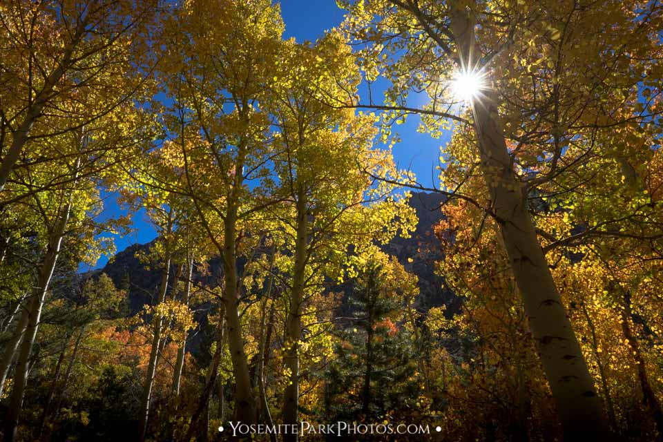 Yellow aspen trees & sunburst at Lundy Canyon - Eastern Sierra Fall Colors
