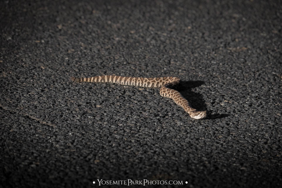 Young rattlesnake on asphalt in afternoon sun - Tuolumne County