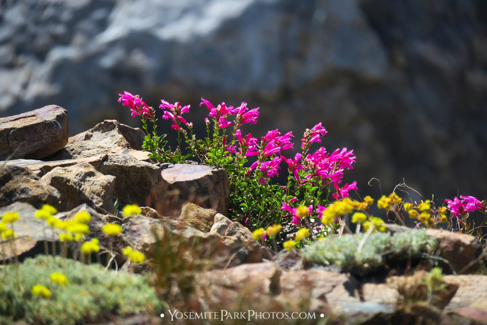 Mountain Pride and colorful wildflowers on Yosemite Hiking Trail