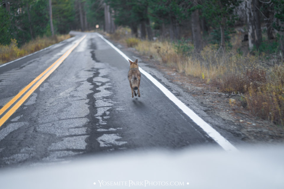 Coyote running in traffic dangerously - Glacier Point Road
