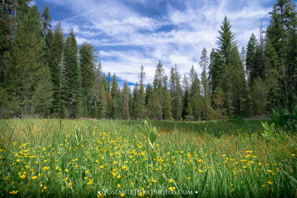 Crane flat meadow with yellow buttercups flowers in forest