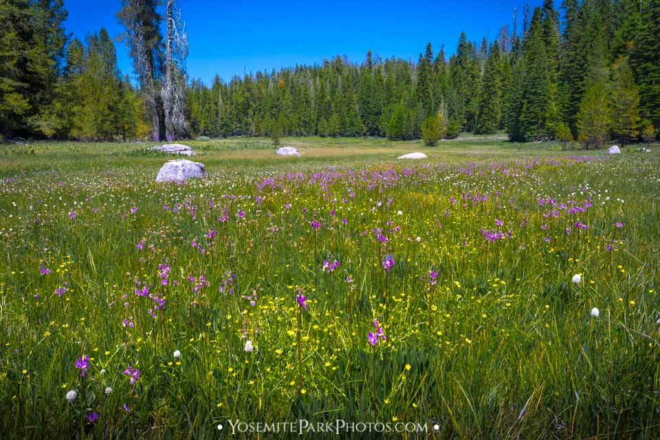 "Purple ""shooting star"" wildflowers in Crane Flat Meadow"