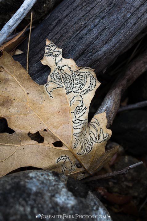 Caterpillar chewed design in dead leaf - Yosemite nature details