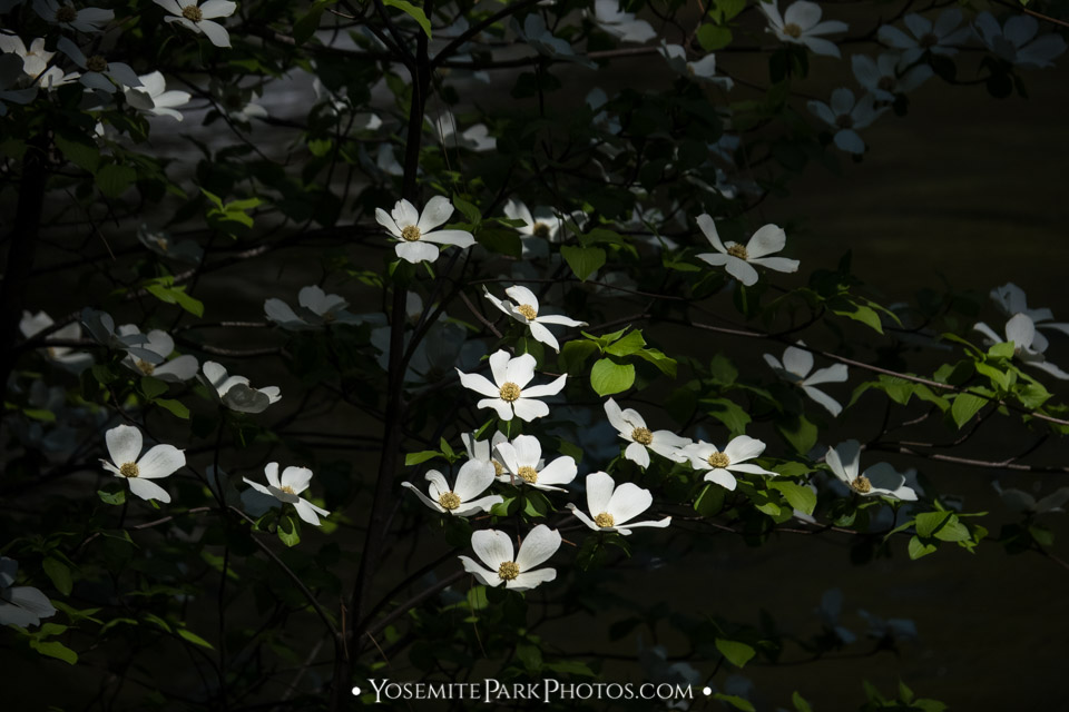 Dramatic afternoon sunlight illuminating white dogwood flowers - detail