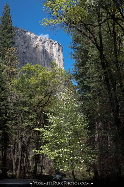 Pacific Dogwood tree blooming below El Cap in early May