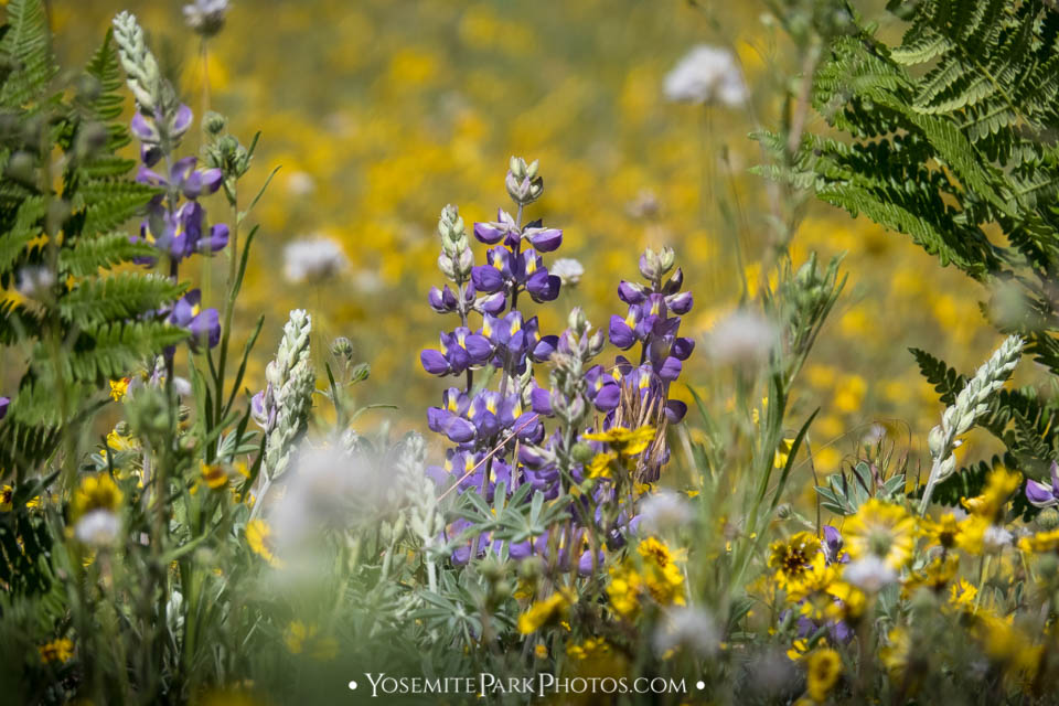 Lupine & wildflower bokeh - Evergreen Road