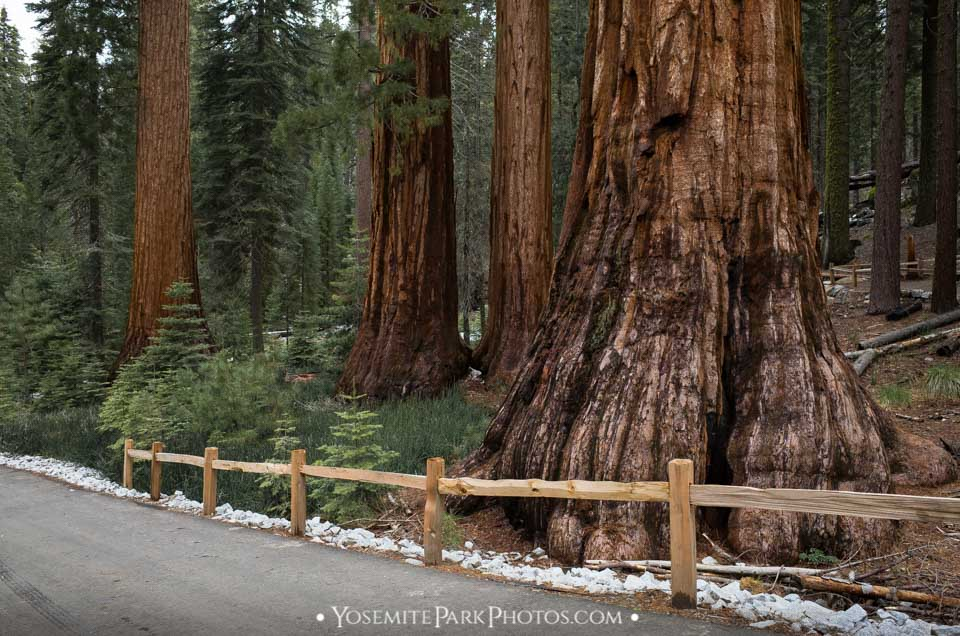 Bachelor and Three Graces trees along road - Mariposa Grove photos