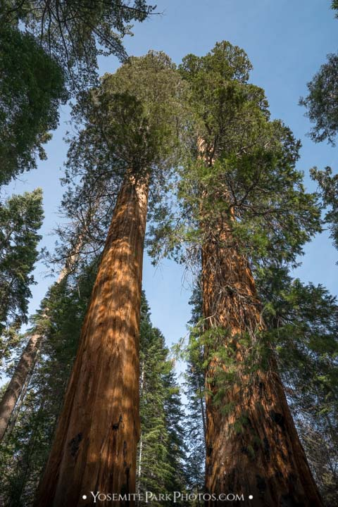 portrait looking up at the tall trees - Merced Grove photos