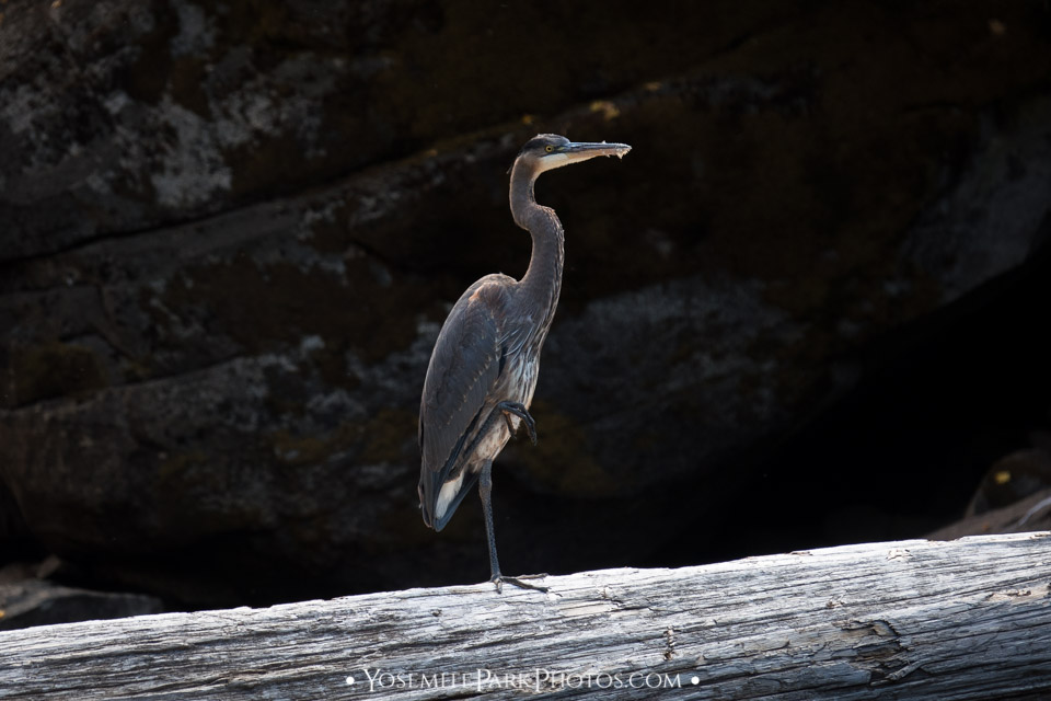 Great Blue Heron Posing on One Foot - Yosemite Wildlife Photos