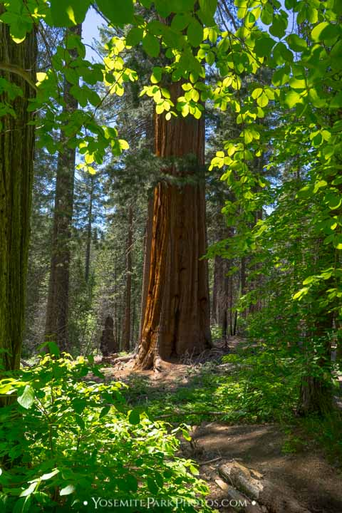 Stately sequoia in lush forest - portrait