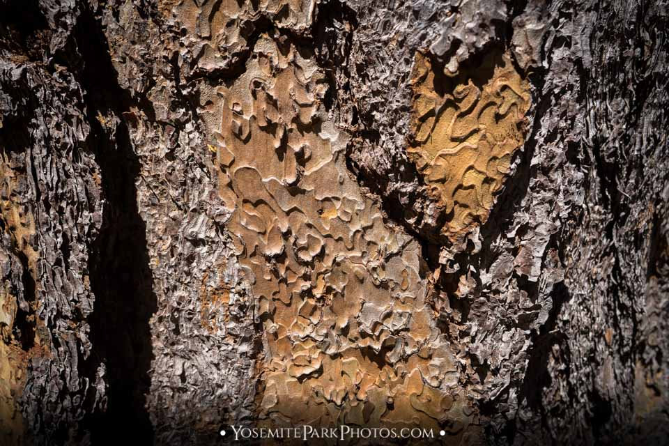 Jeffrey Pine Bark closeup, with scented crevices