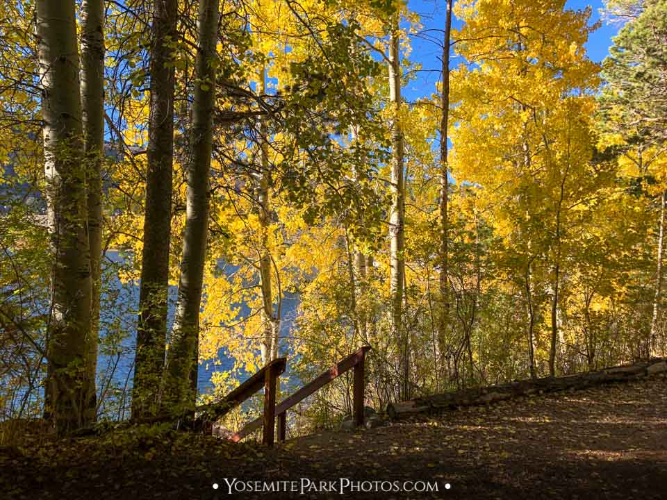Golden changing aspen colors along June Lake - Highway 395
