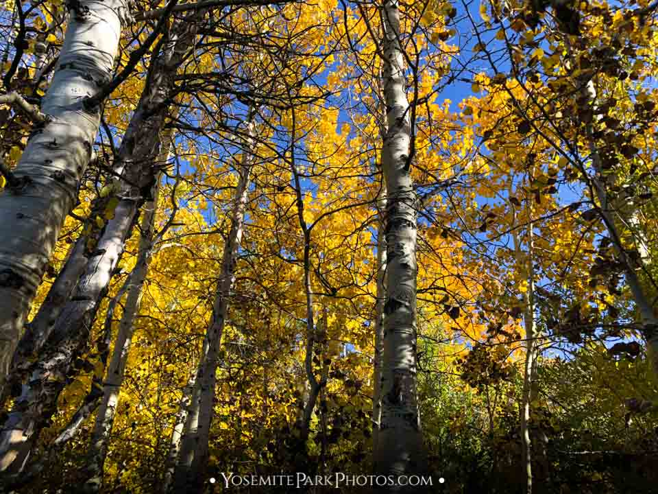Yellow Canopy Leaves & White Aspens Trunks - June Lake Fall Colors