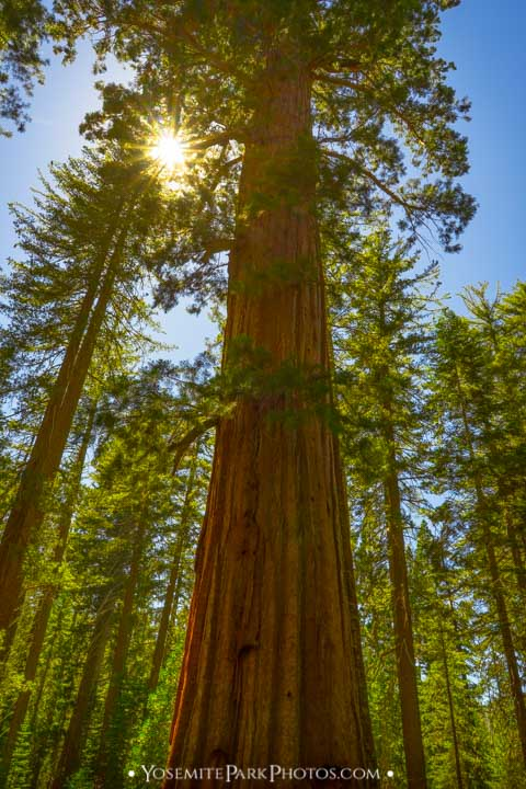 Sunny skies looking up at the canopy - Tuolumne Grove photos
