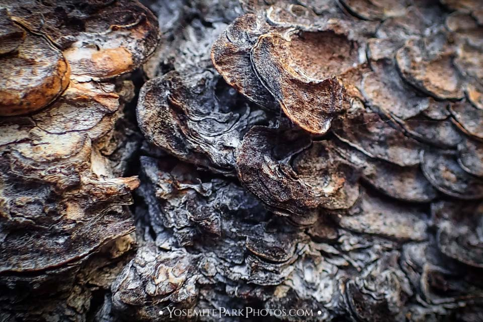 Jeffrey Pine Tree Bark (Super Macro)
