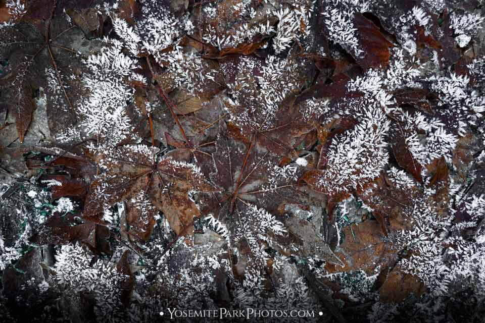 Frozen maple leaf pattern on forest floor - Yosemite nature details