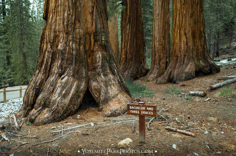 Bachelor and three graces Sequoia trees, with sign