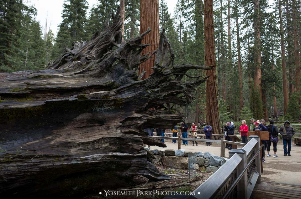 Visitors at Mariposa Grove - dressed warm on a rainy spring day