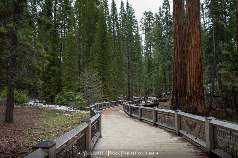 Developed walking path curving through Sequoia trees - Mariposa Grove photos