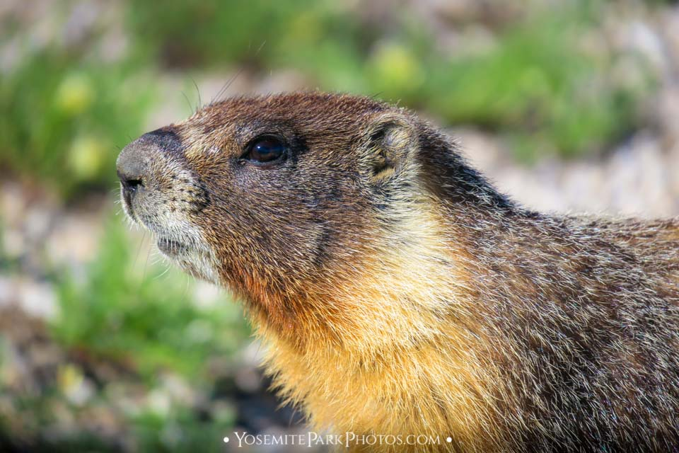 - Yellow Bellied Marmot photos