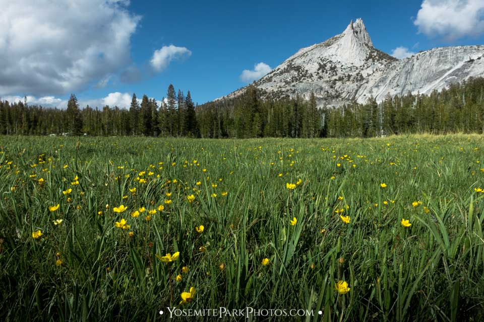 Yellow buttercups wildflowers with Cathedral Peak - Yosemite meadows photos