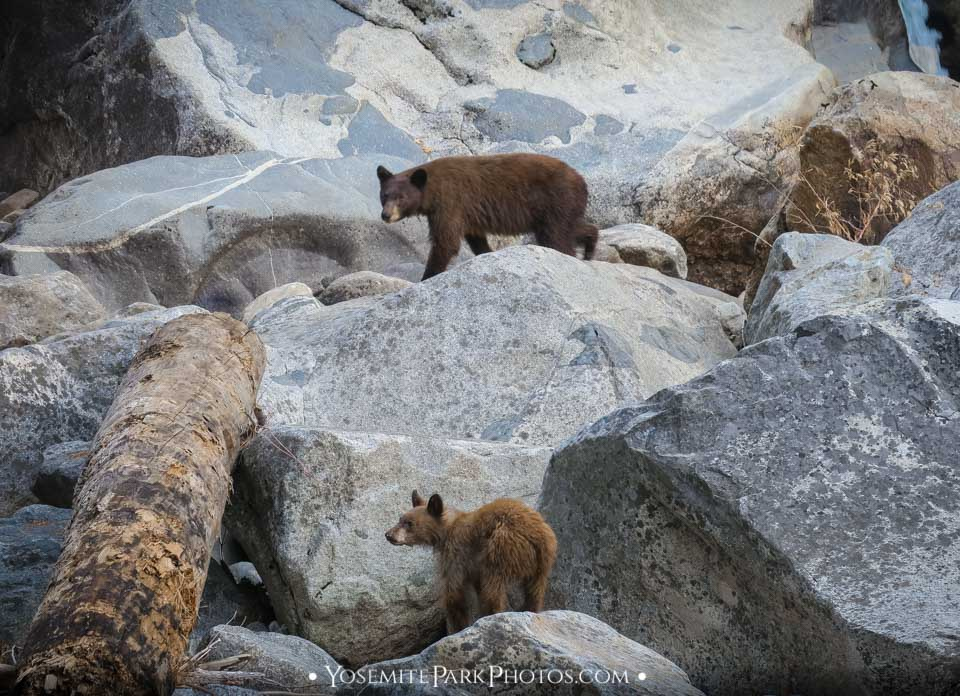 Mama Bear & Cub by Merced River Boulders - Yosemite dangers