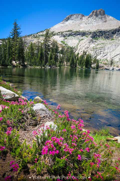 Pink May Lake wildflowers with Mount Hoffman butte
