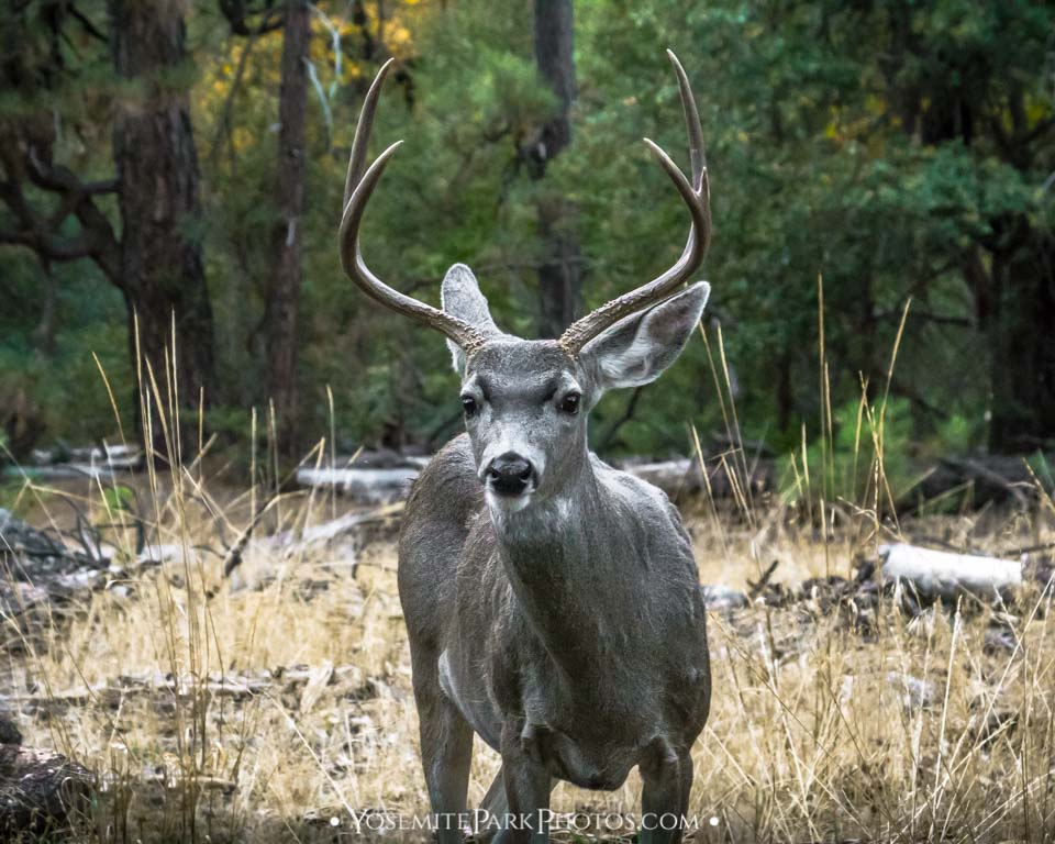 Mule Deer Buck With Large Antlers - Yosemite Wildlife Photos