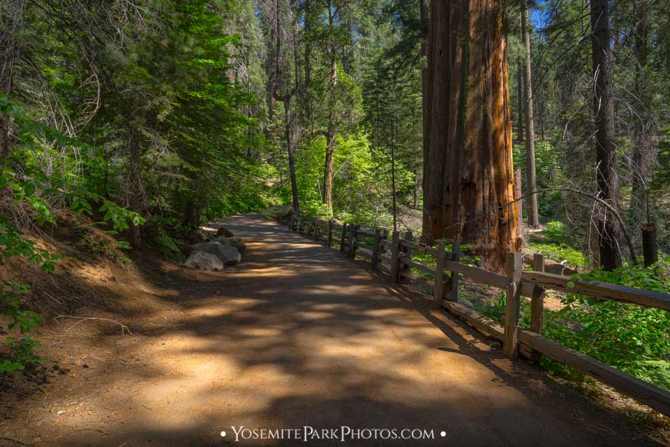 Old Big Oak Flat Road With Fence and Giant tree - Tuolumne Grove photos