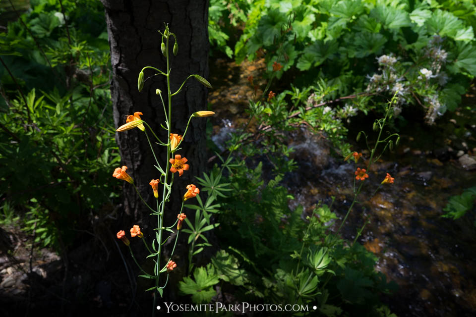 Orange Alpine Lily Flowers on Riverbank - Carlon Falls hike photos