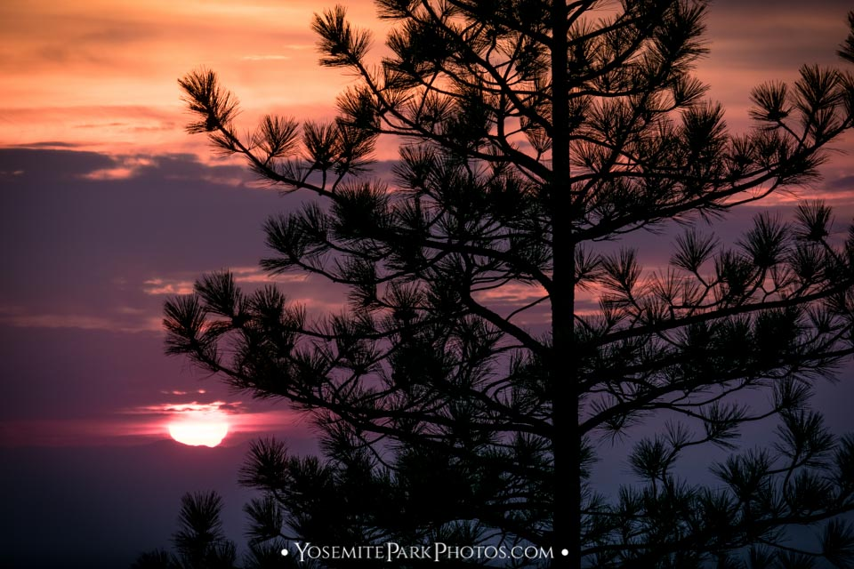 Sunset pine tree silhouette