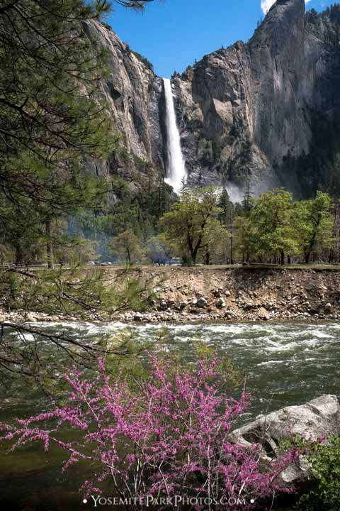 Bridalveil Fall & pink blossoms by Merced River