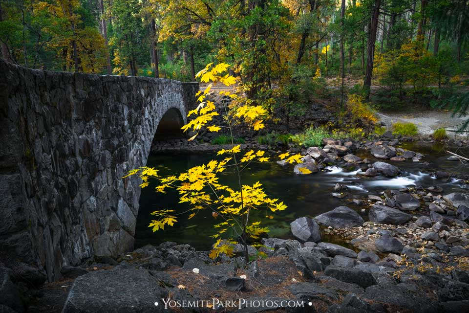 Baby maple tree in October - pohono stone bridge