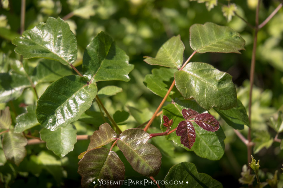 Poison Oak Leaves, with new spring / early summer red growth
