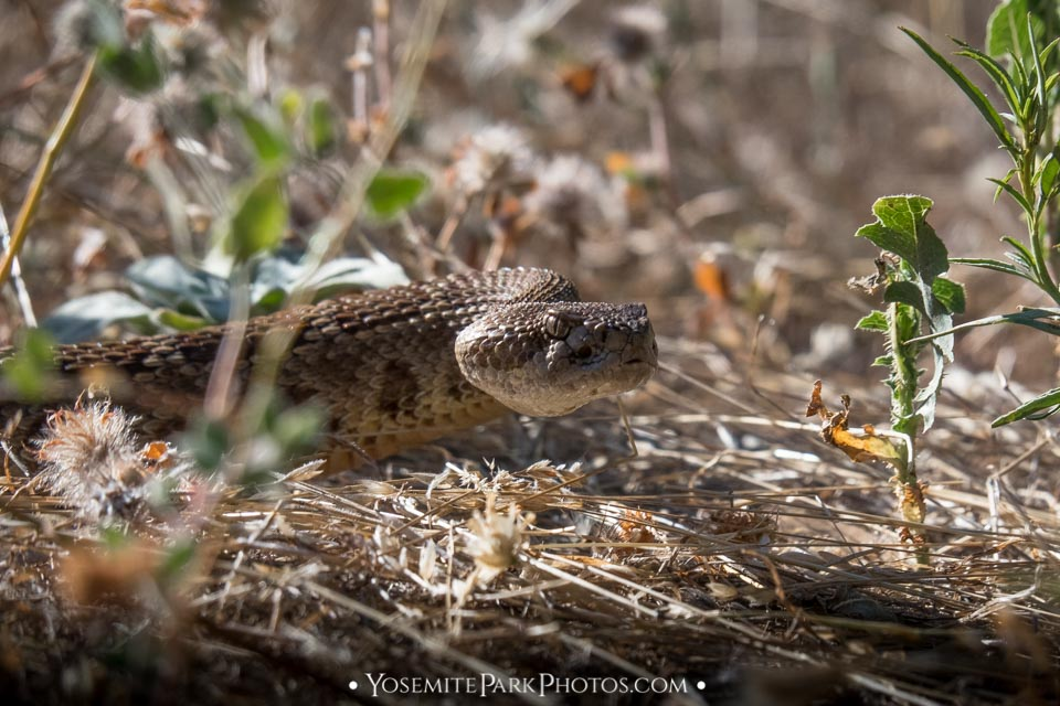 Rattlesnake slithering through grass - Tuolumne River Canyon