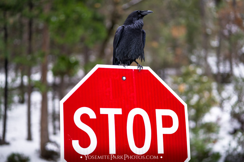 Black bird on Stop Sign at Tunnel View in Snow