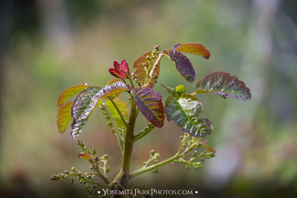 Red Leaves Closeup in Spring - Poison oak in Yosemite