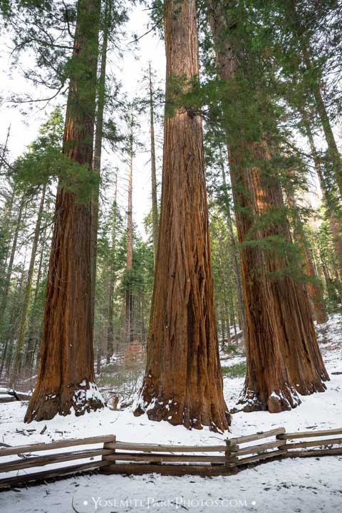 Sequoia trees behind wooden fence on trail - Merced Grove photos