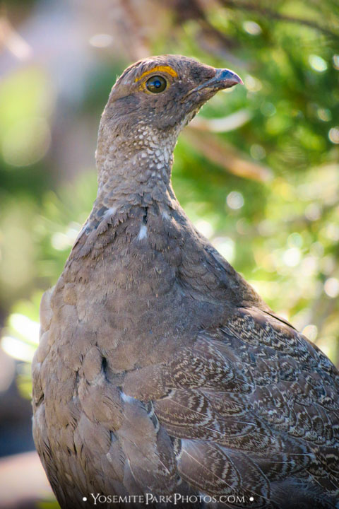 Sooty Grouse photos, portrait with bokeh