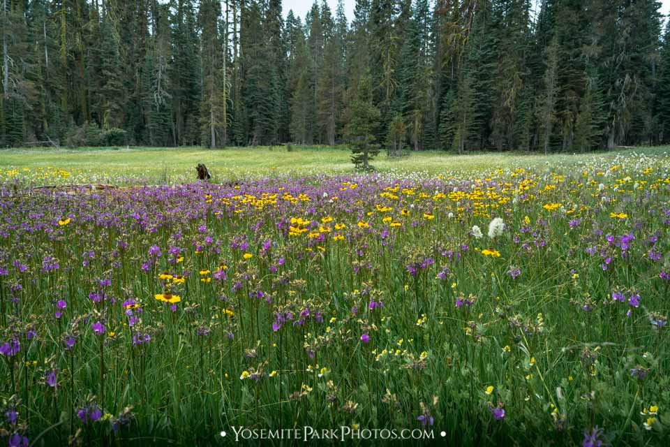 Dazzling, lush Summit Meadow flowers - Yosemite Meadows Photos