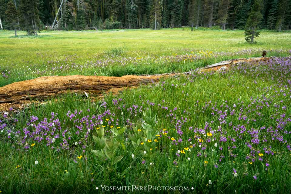 Summit meadow log with June wildflowers
