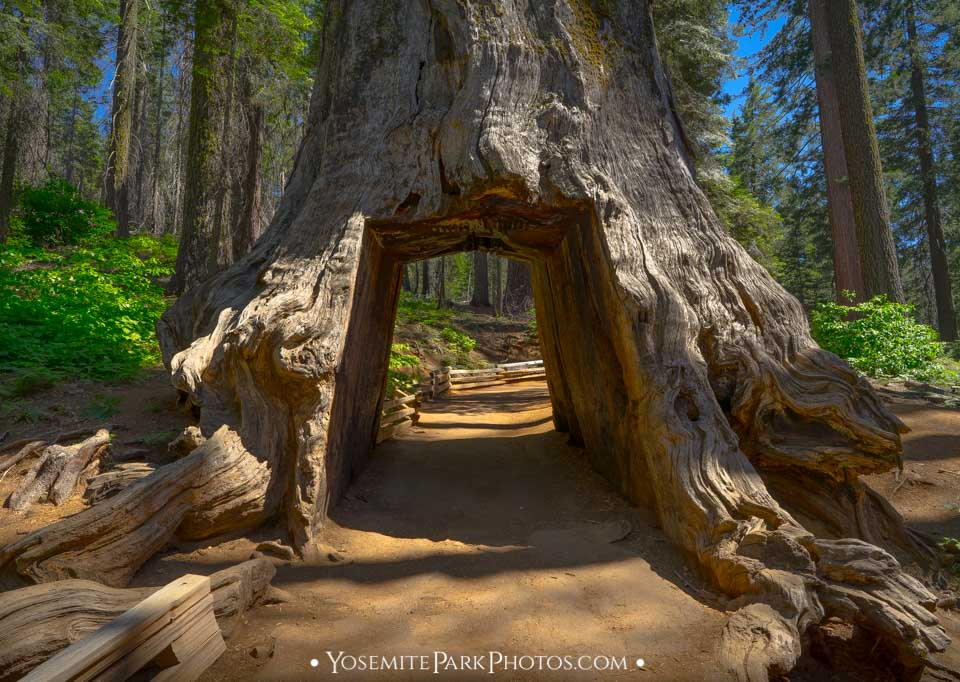 Trail running through the opening in Tunnel Tree - Tuolumne Grove photos