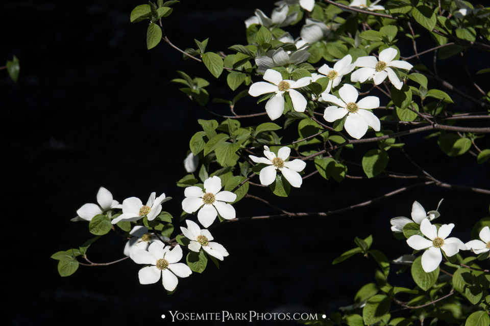 Pacific Dogwood Flowers in Full Bloom - closeup