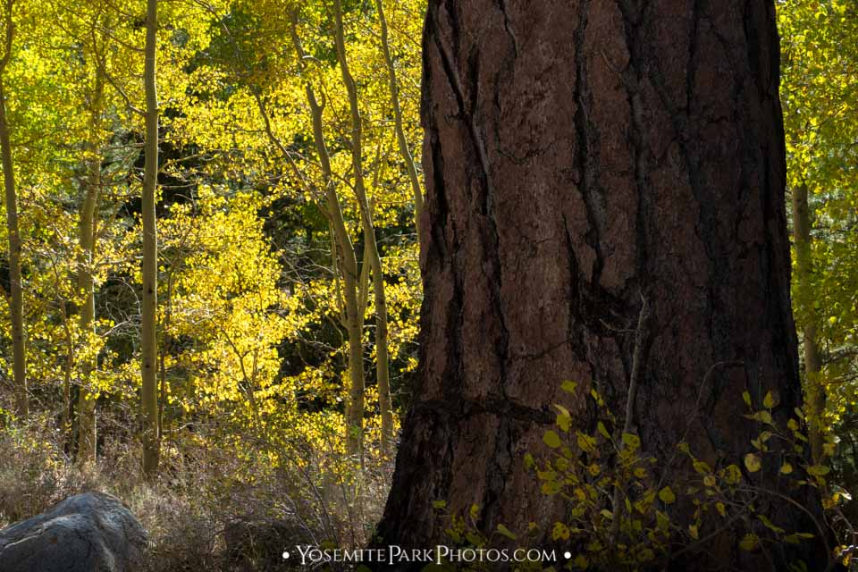 Aspen Trees With Large Pine Trunk - Lee Vining Canyon fall colors