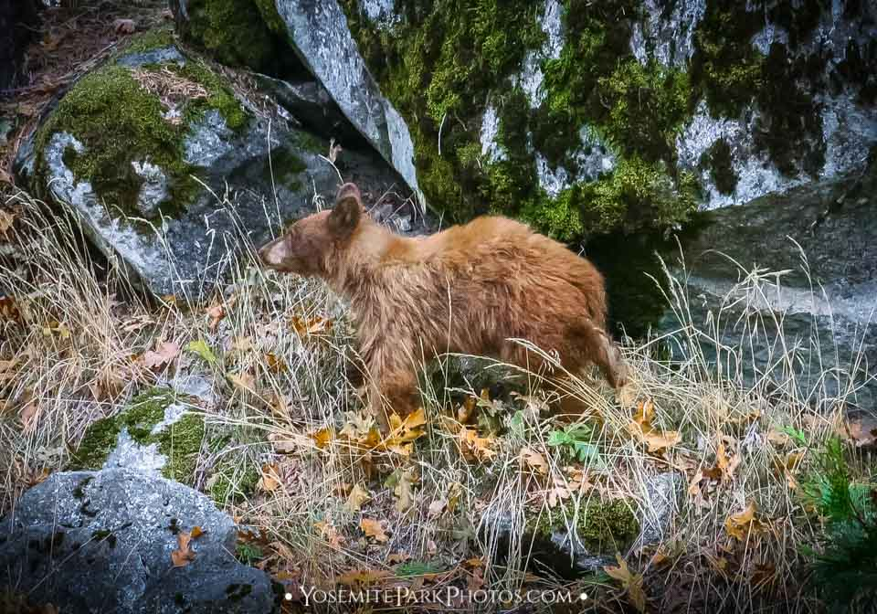 Shaggy Black Bear Cub By Boulders in fall (October)