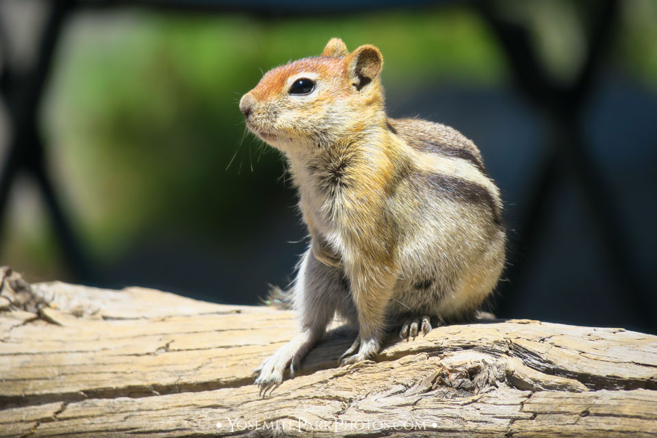 Chipmunk is actually a golden mantled ground squirrel - Yosemite Wildlife Photos